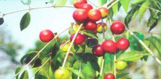 Fruto do camu-camu, rico em Vitamina C